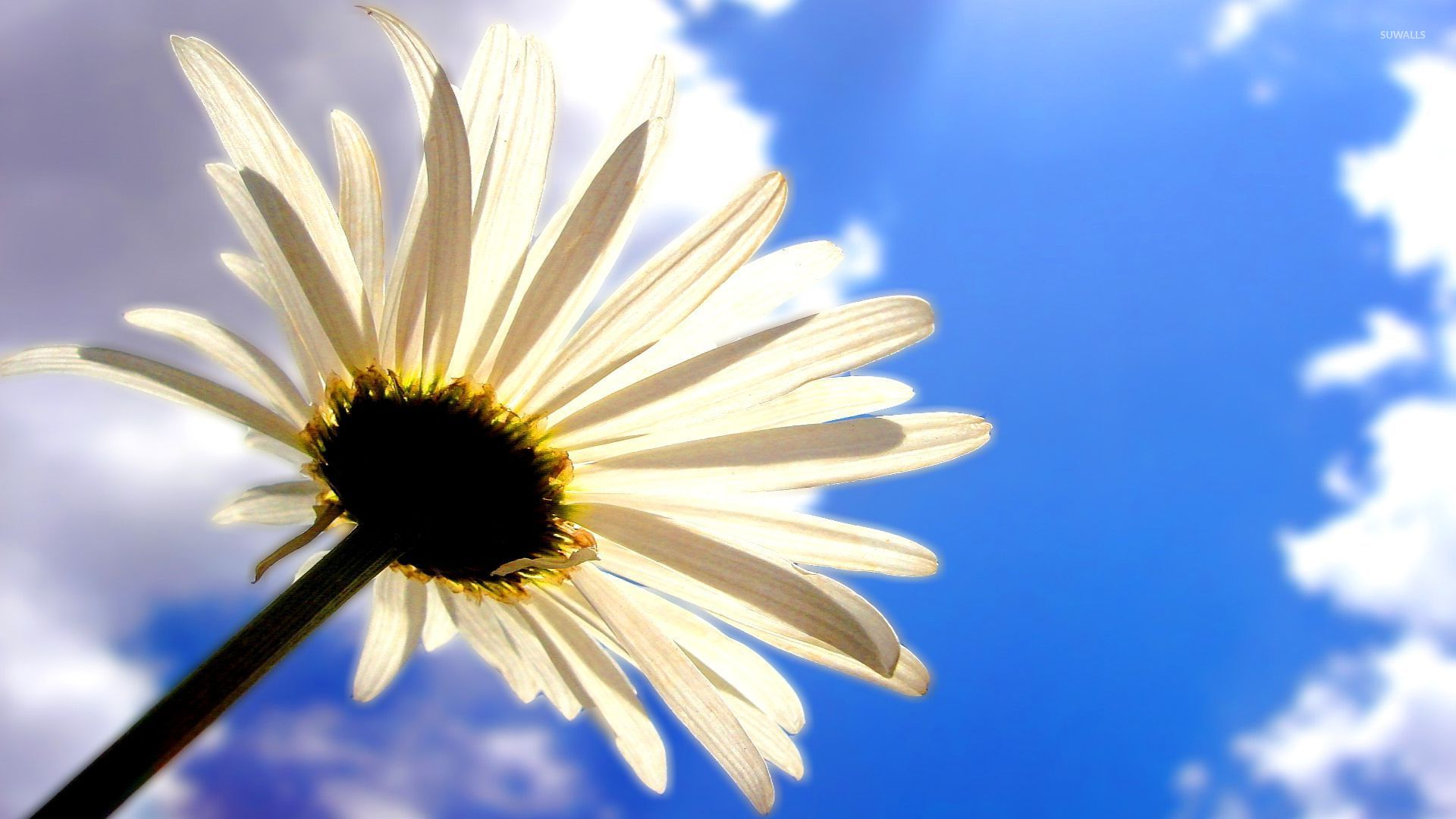 Christian Wallpapers For Girls Daisy In The Clouds Wallpaper Flower Wallpapers 52887