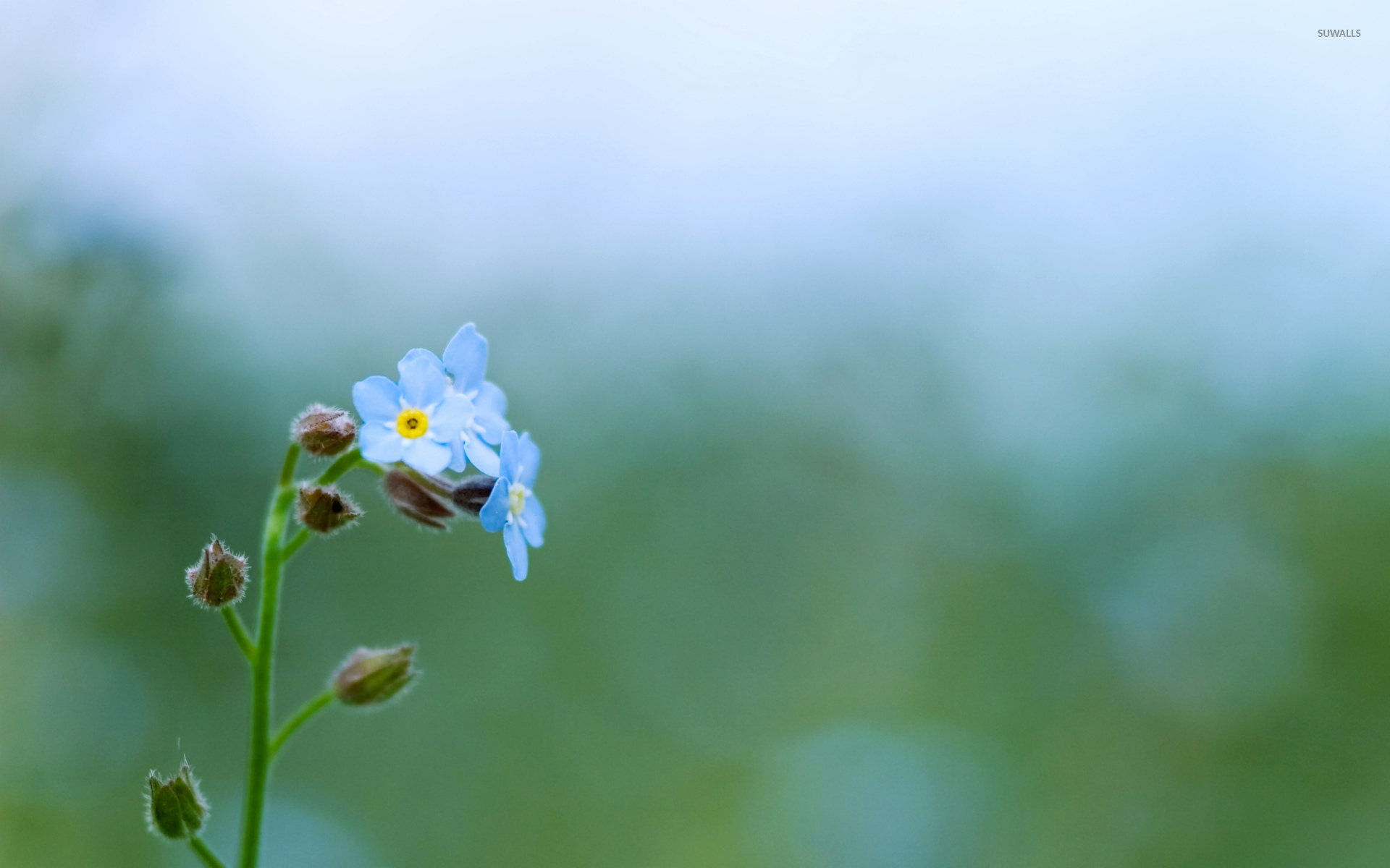 Fruit Quotes Wallpaper Forget Me Not 11 Wallpaper Flower Wallpapers 40023