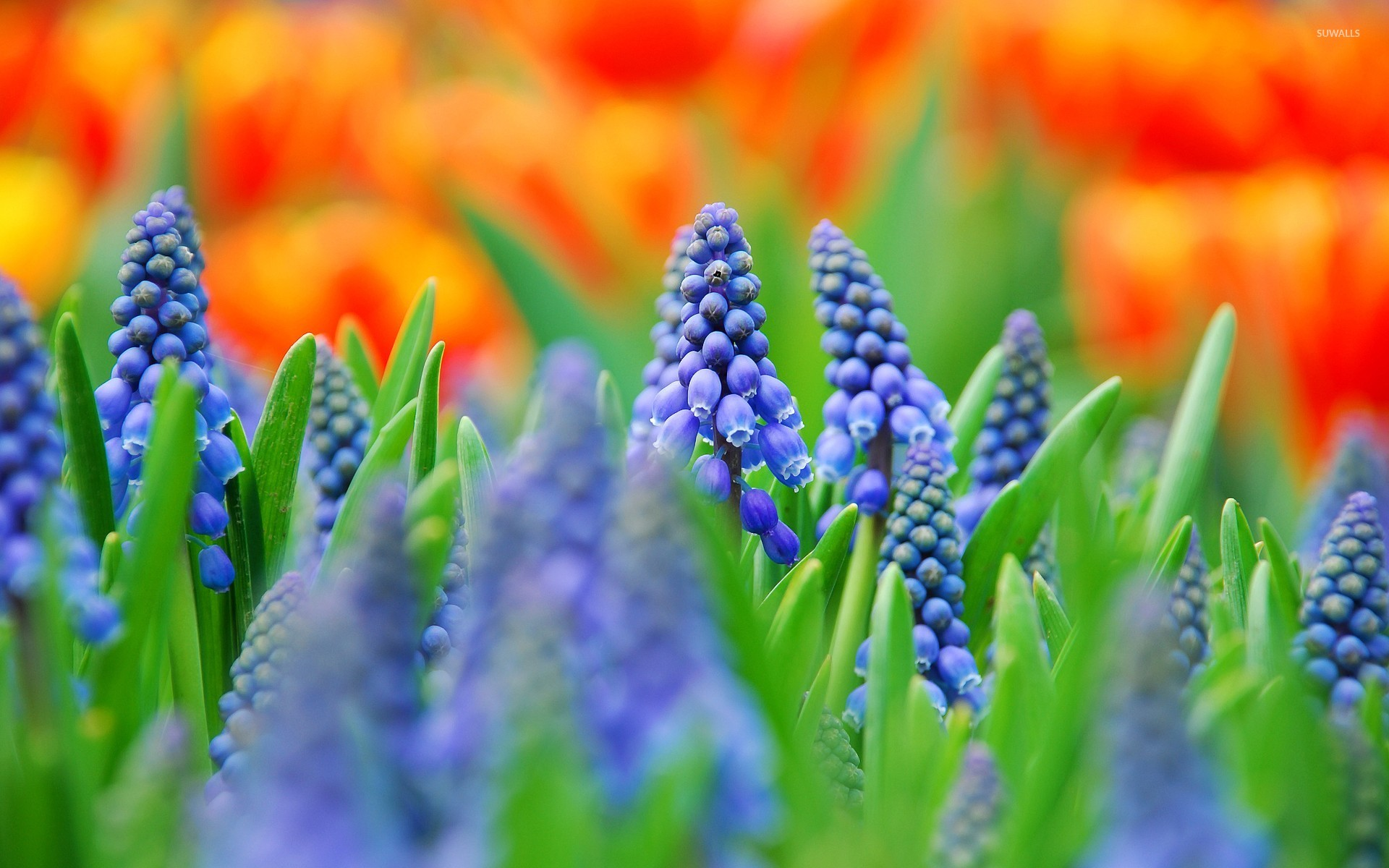 Cosmos Quotes Wallpaper Grape Hyacinth Wallpaper Flower Wallpapers 22979