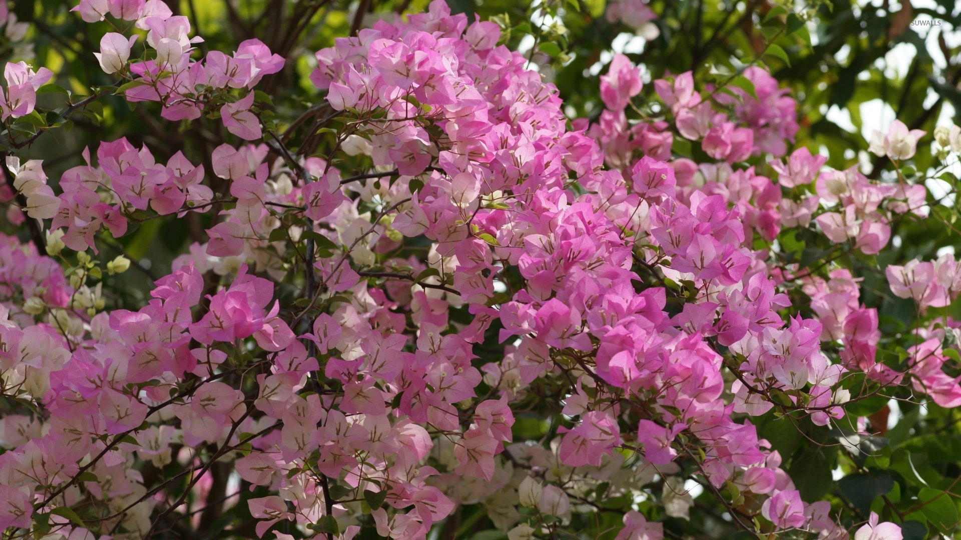 Bougainvillea Wallpaper Pink Bougainvillea Bush Wallpaper Flower Wallpapers 51613