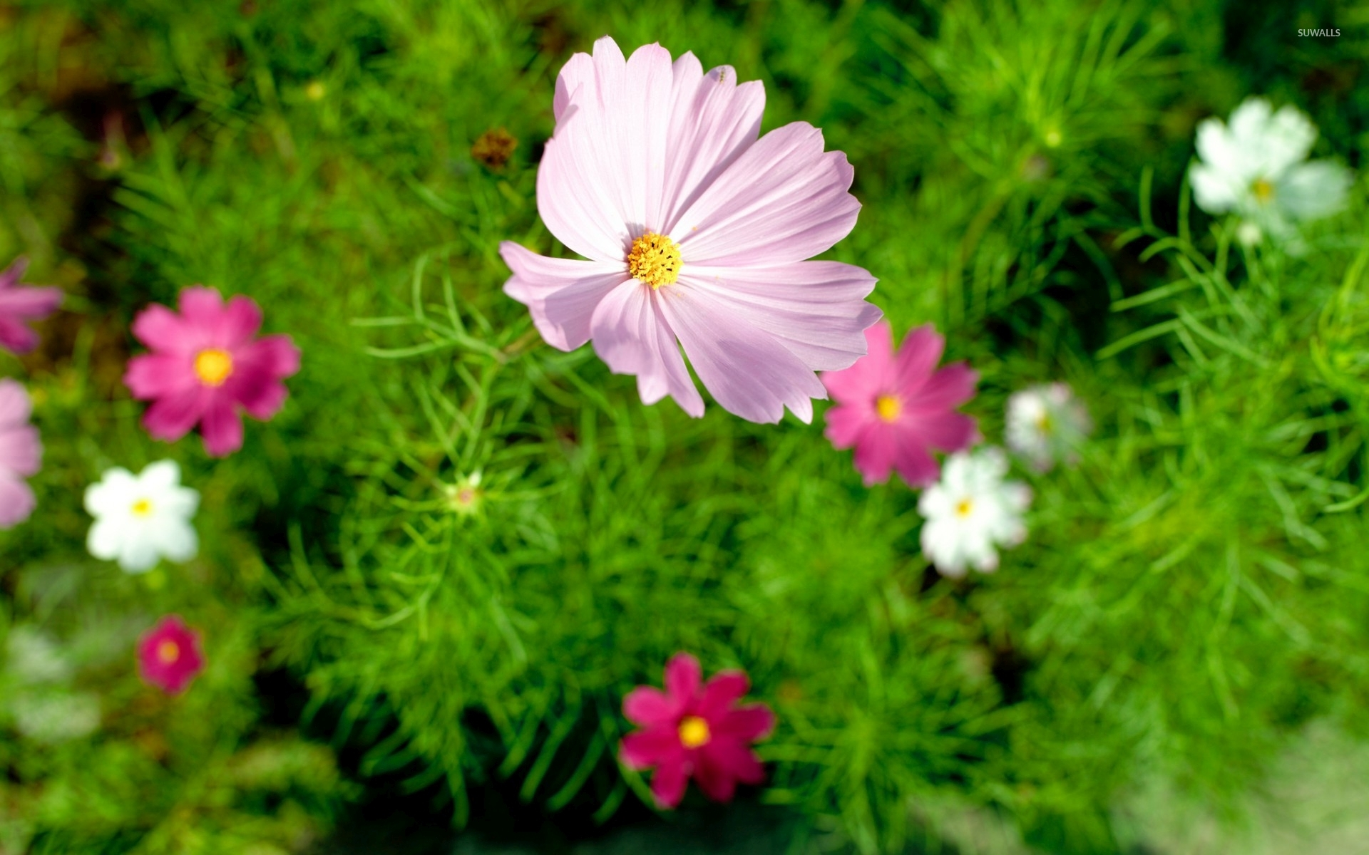 Cosmos Quotes Wallpaper Pink Cosmos Rising To The Light Wallpaper Flower