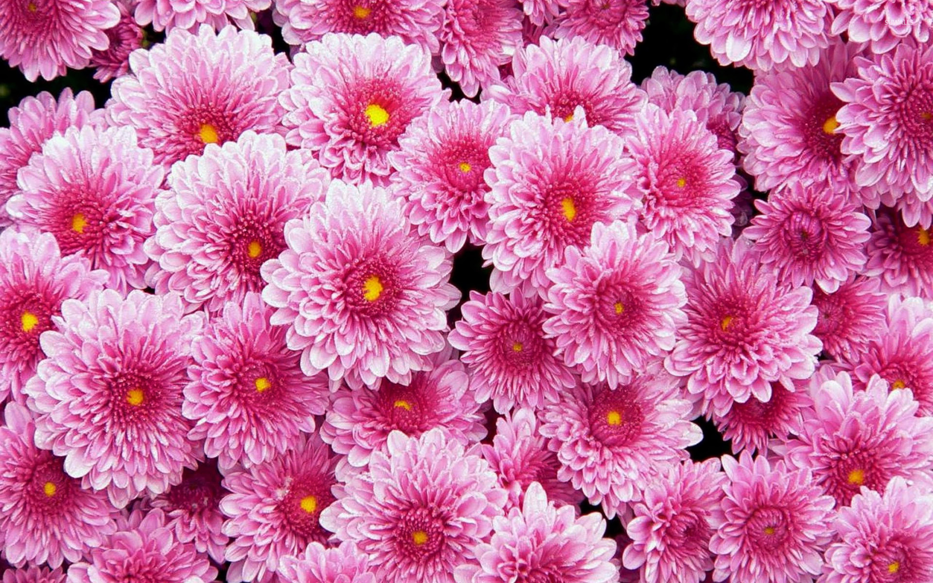 Dahlia Flower Pink Dahlias Wallpaper Flower Wallpapers 20441