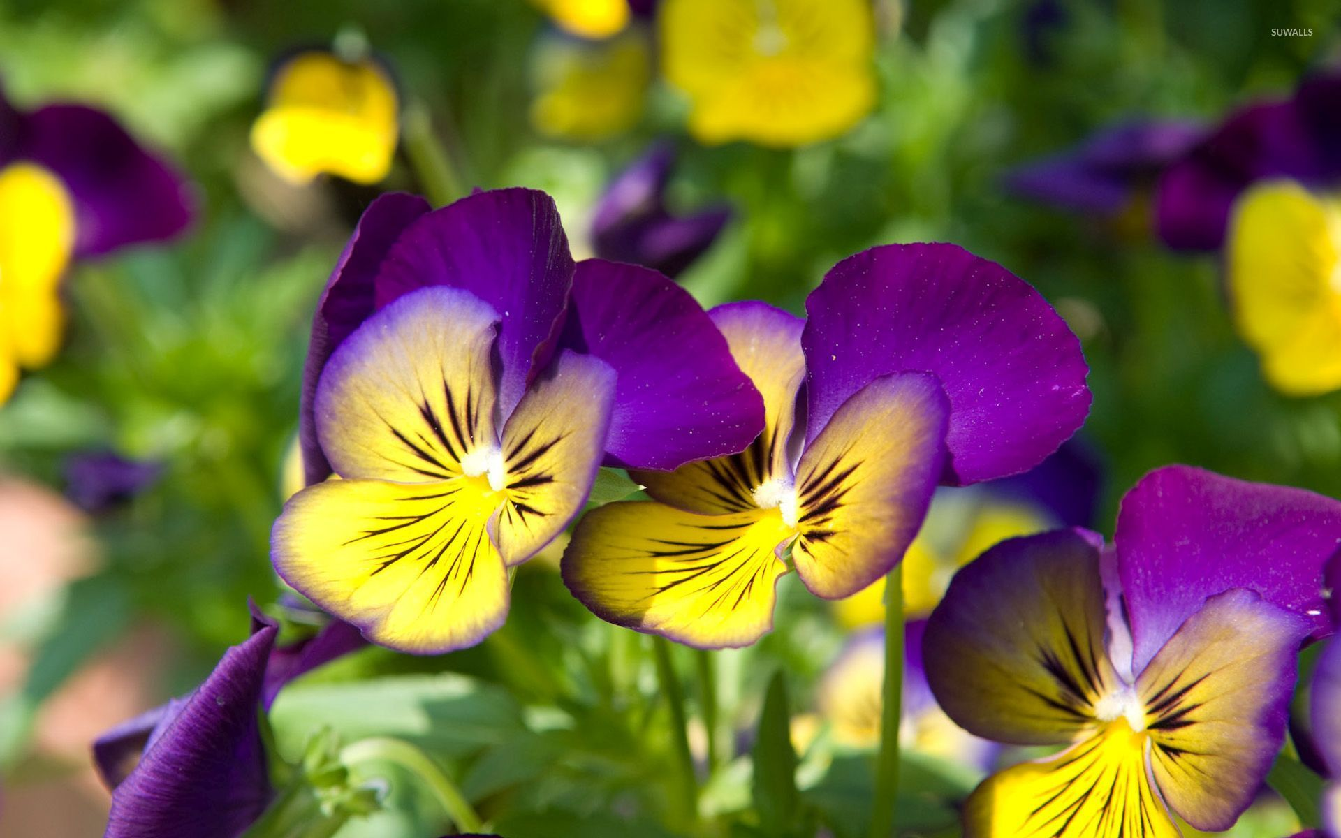 Fruit Quotes Wallpaper Pretty Pansies Wallpaper Flower Wallpapers 54105