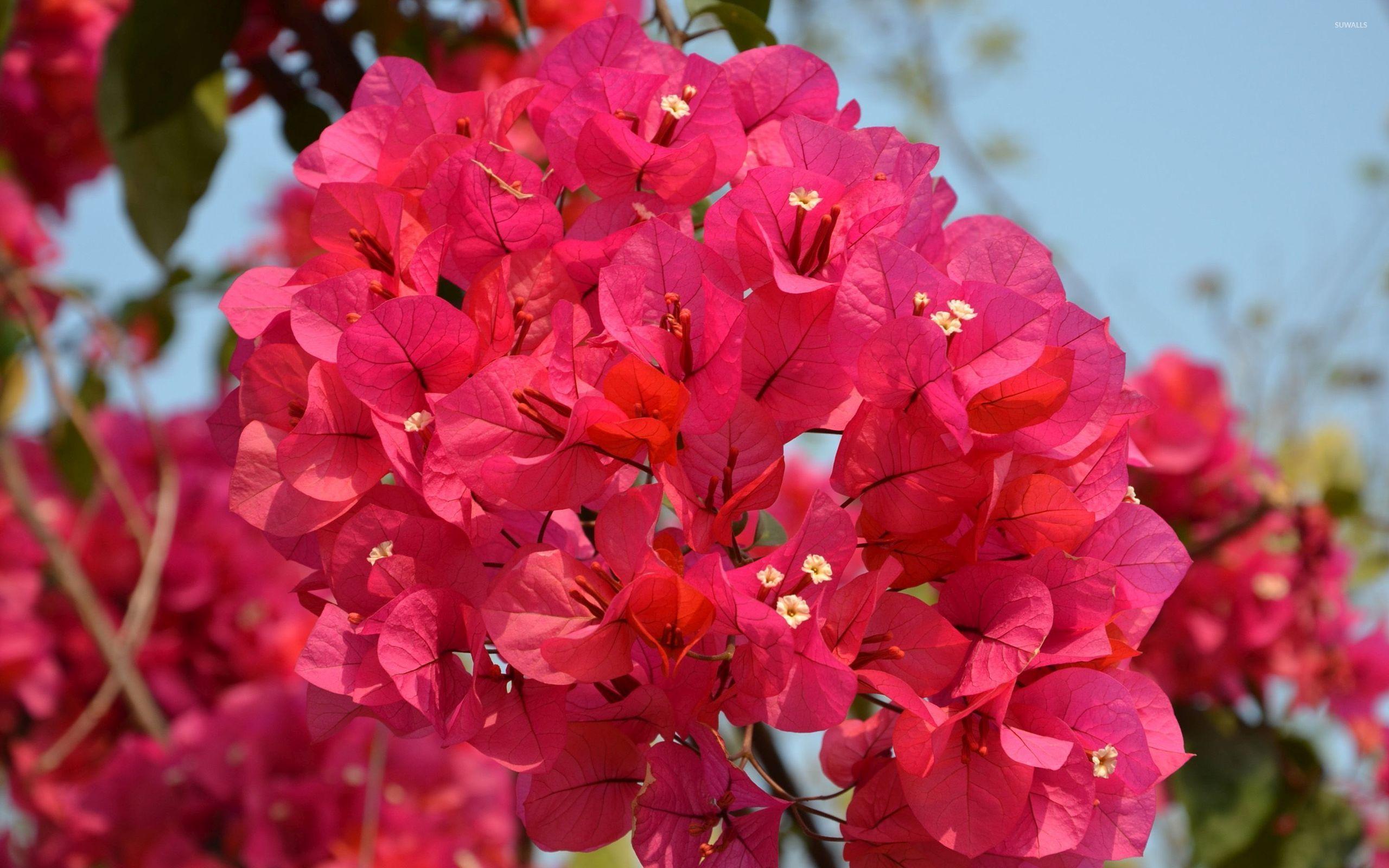 Rose Flower Garden Hd Wallpaper Red Bougainvilleas Wallpaper Flower Wallpapers 47821