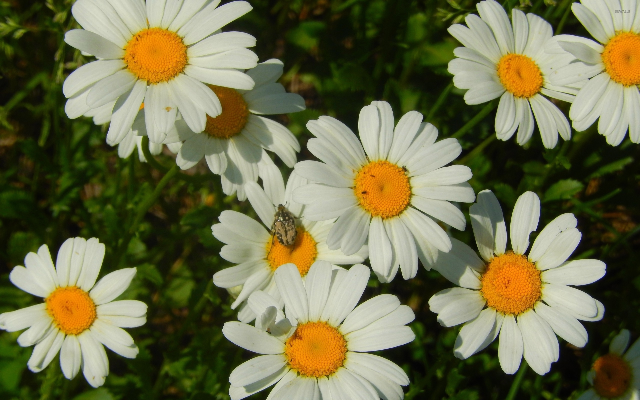 Funny Wallpapers Nature With Small Quotes Small Bug On A Daisy Wallpaper Flower Wallpapers 52508