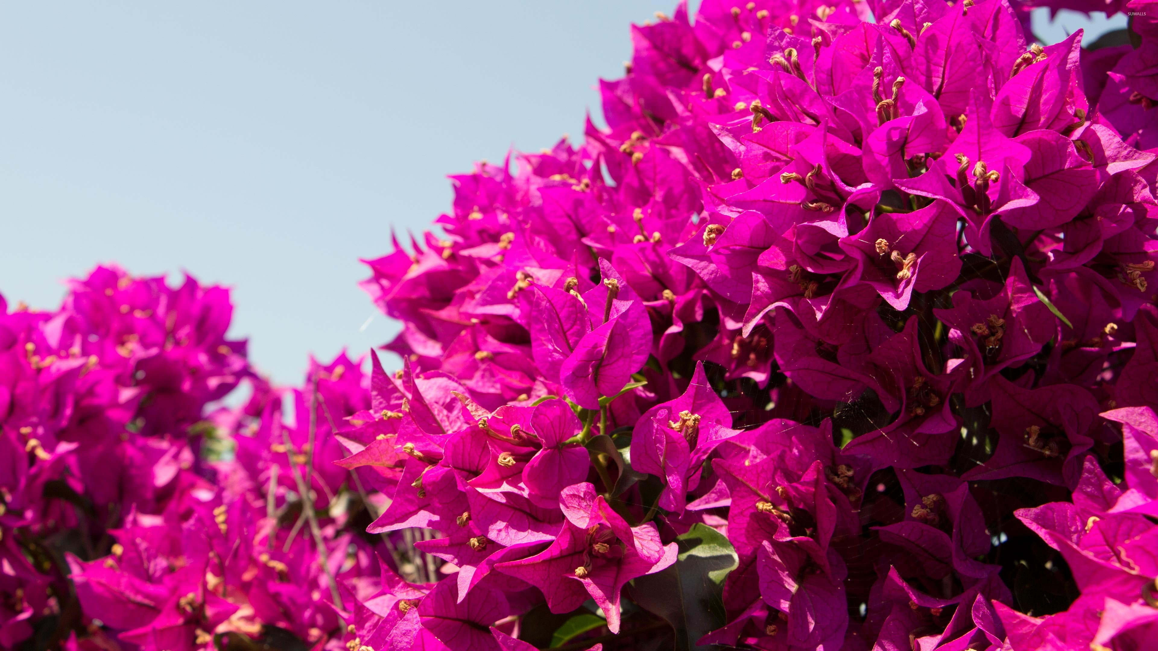 Bougainvillea Wallpaper Spiderweb In A Pink Bougainvillea Shrub Wallpaper Flower