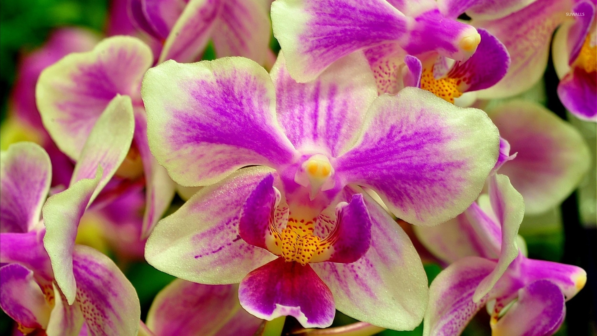 Fruit Quotes Wallpaper White And Purple Orchids Wallpaper Flower Wallpapers