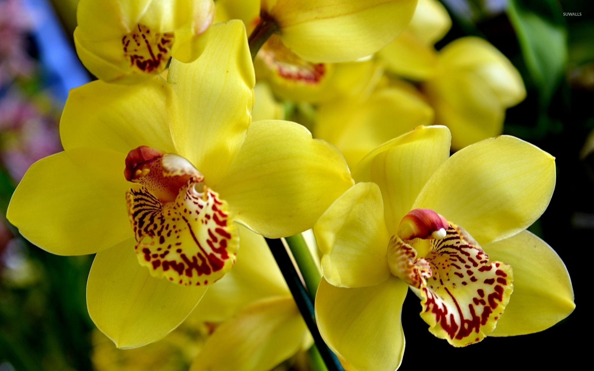 Wallpaper Hd For Living Room Yellow Orchids 3 Wallpaper Flower Wallpapers 40868