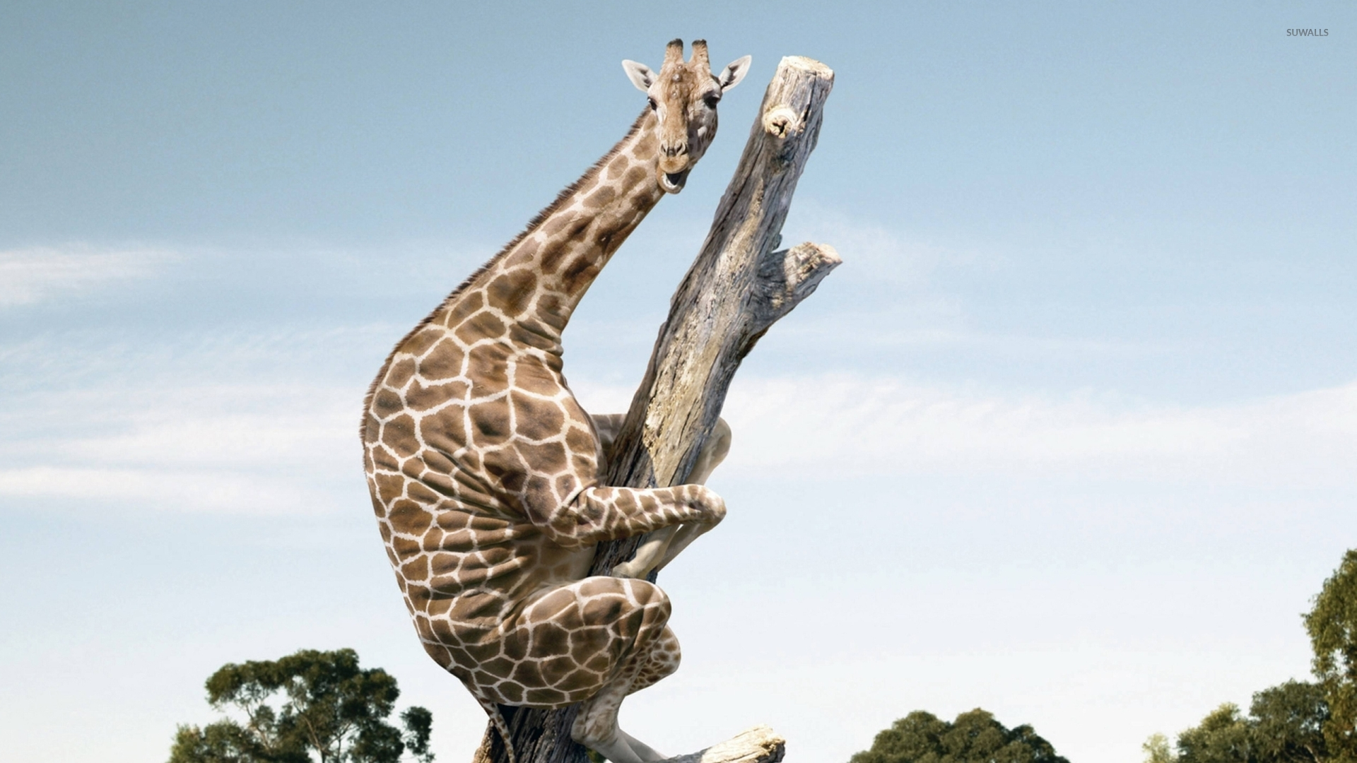 Crossfit Wallpaper Girls Giraffe On A Tree Trunk Wallpaper Funny Wallpapers 42410