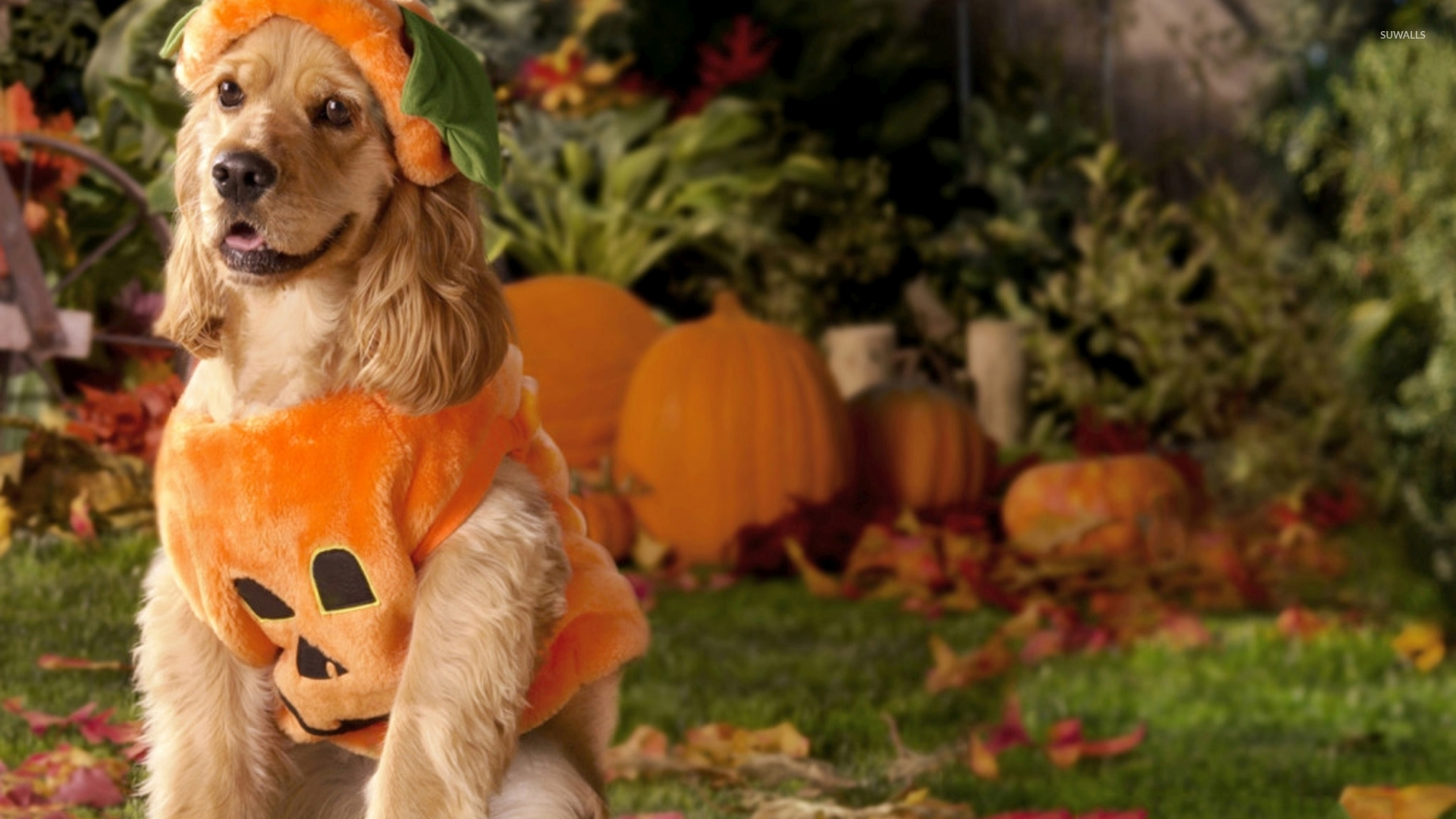 Fall Desktop Wallpaper With Pumpkins Dog Dressed As A Pumpkin Wallpaper Holiday Wallpapers