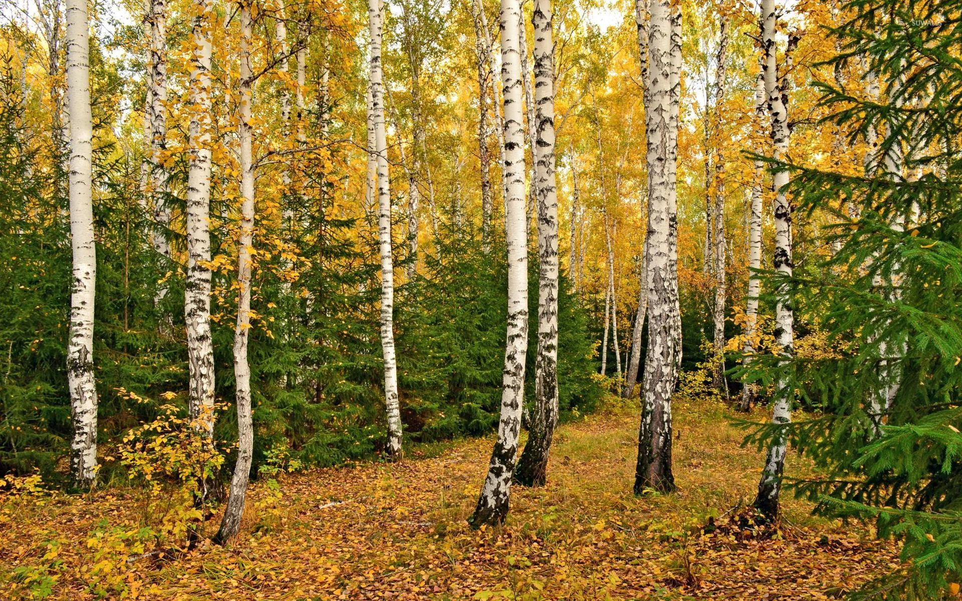 Fall In Vermont Wallpaper Autumn Birch Forest 2 Wallpaper Nature Wallpapers 46236