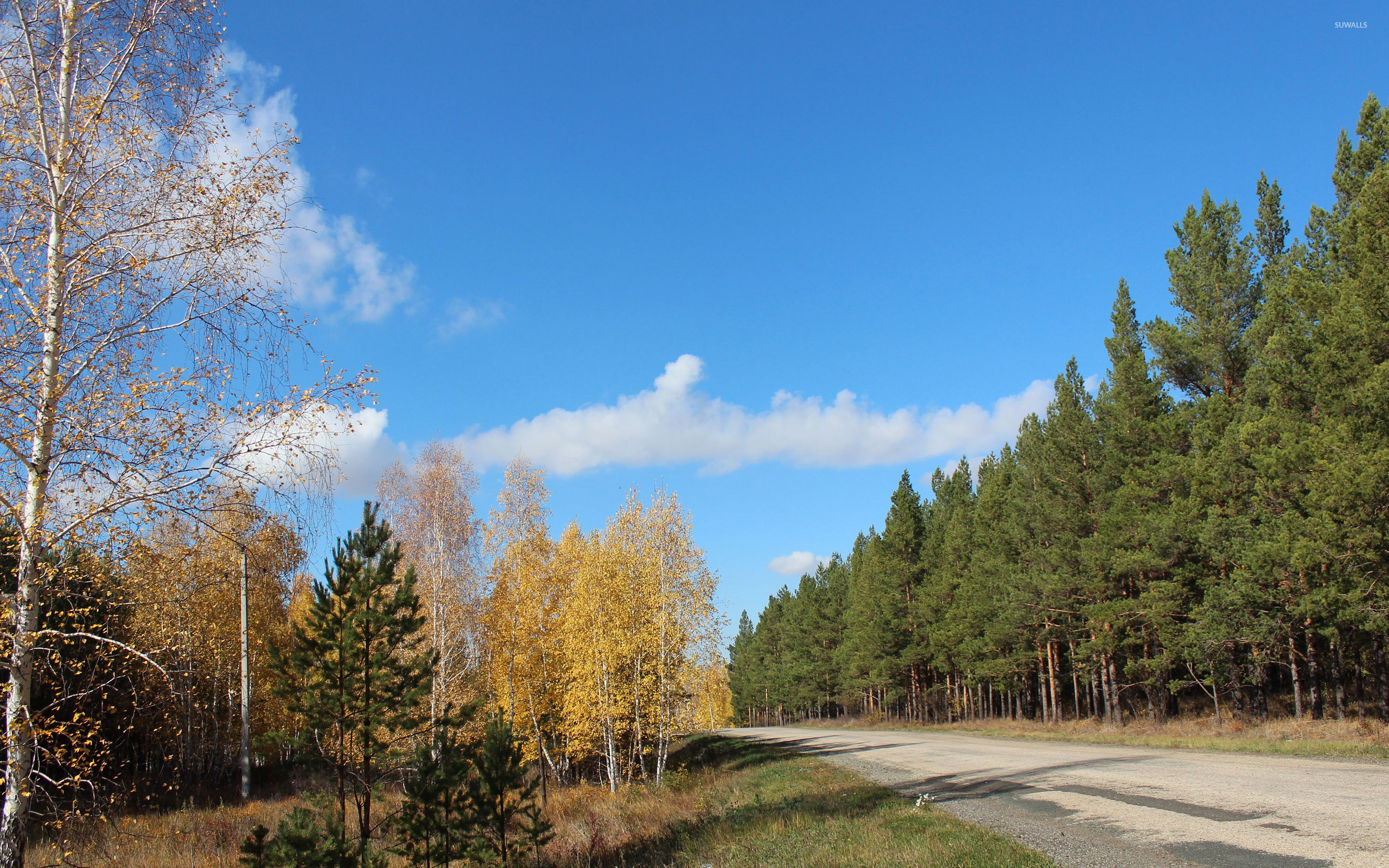 Fall Birch Tree Wallpaper Autumn Birch Trees On The Road Side Wallpaper Nature