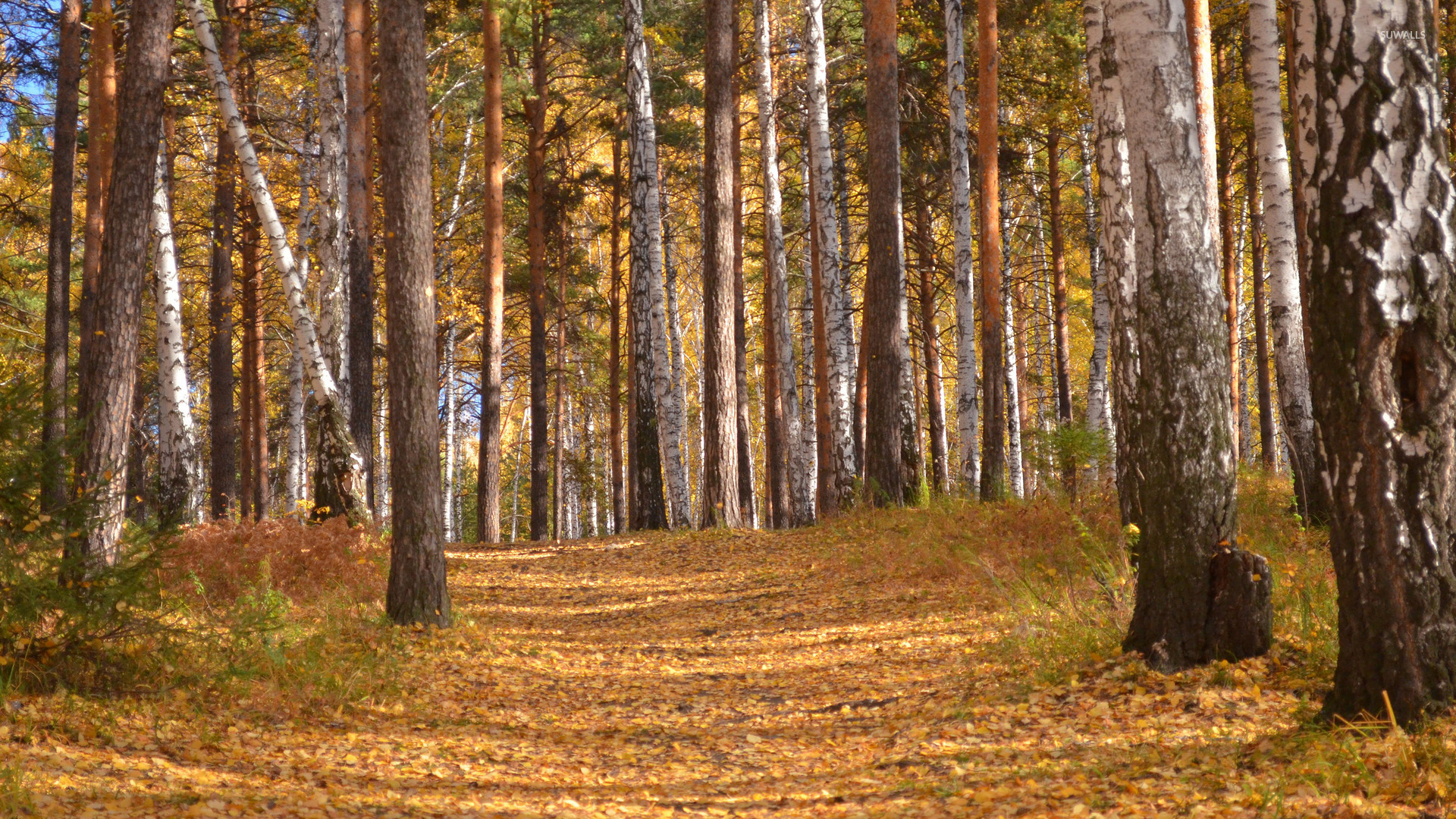 Fall Tree Desktop Wallpaper Trail Of Autumn Leaves In The Forest Wallpaper Nature