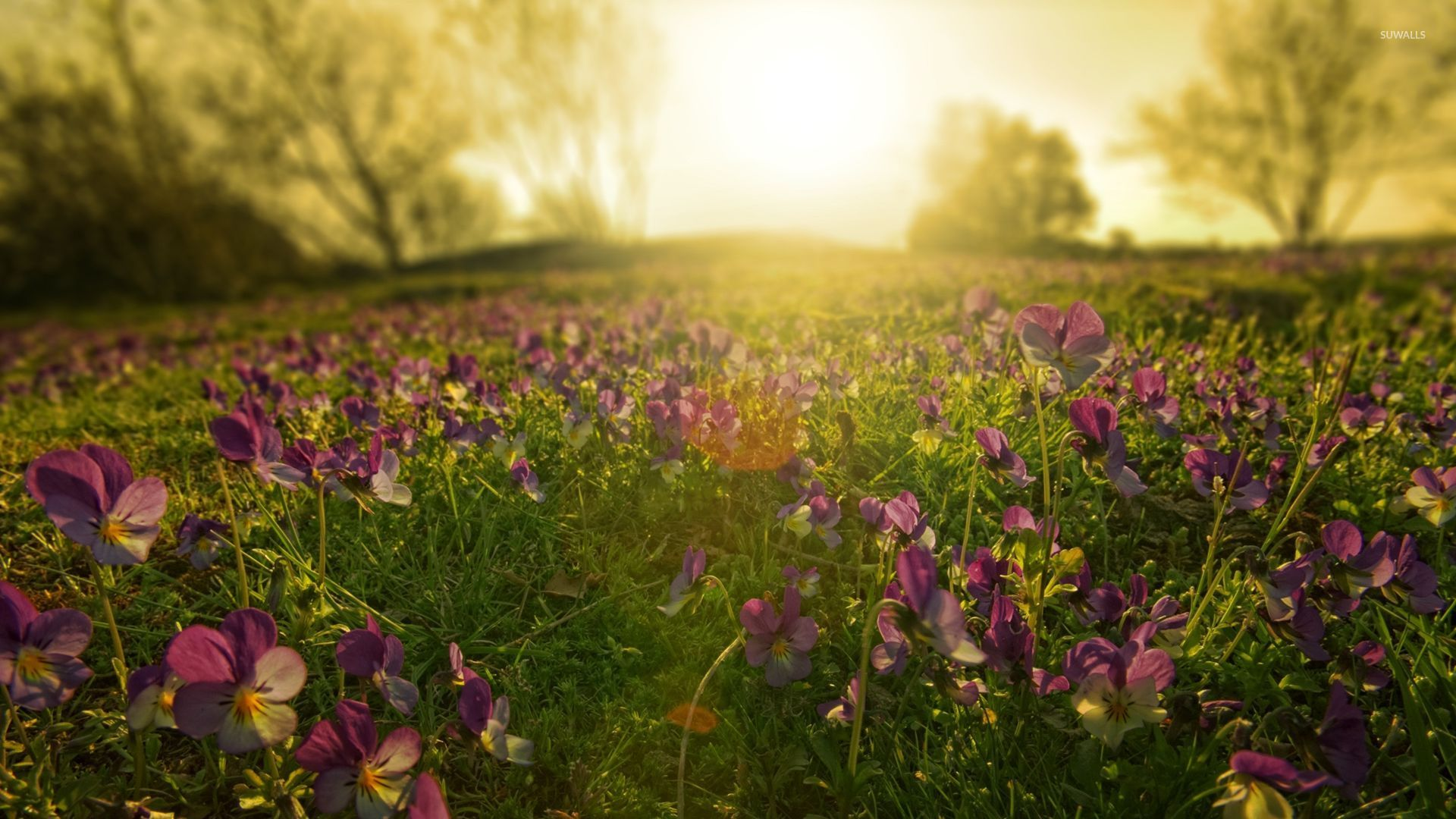 Free Fall Wallpapers Desktop Violet Field In The Dawn Wallpaper Nature Wallpapers