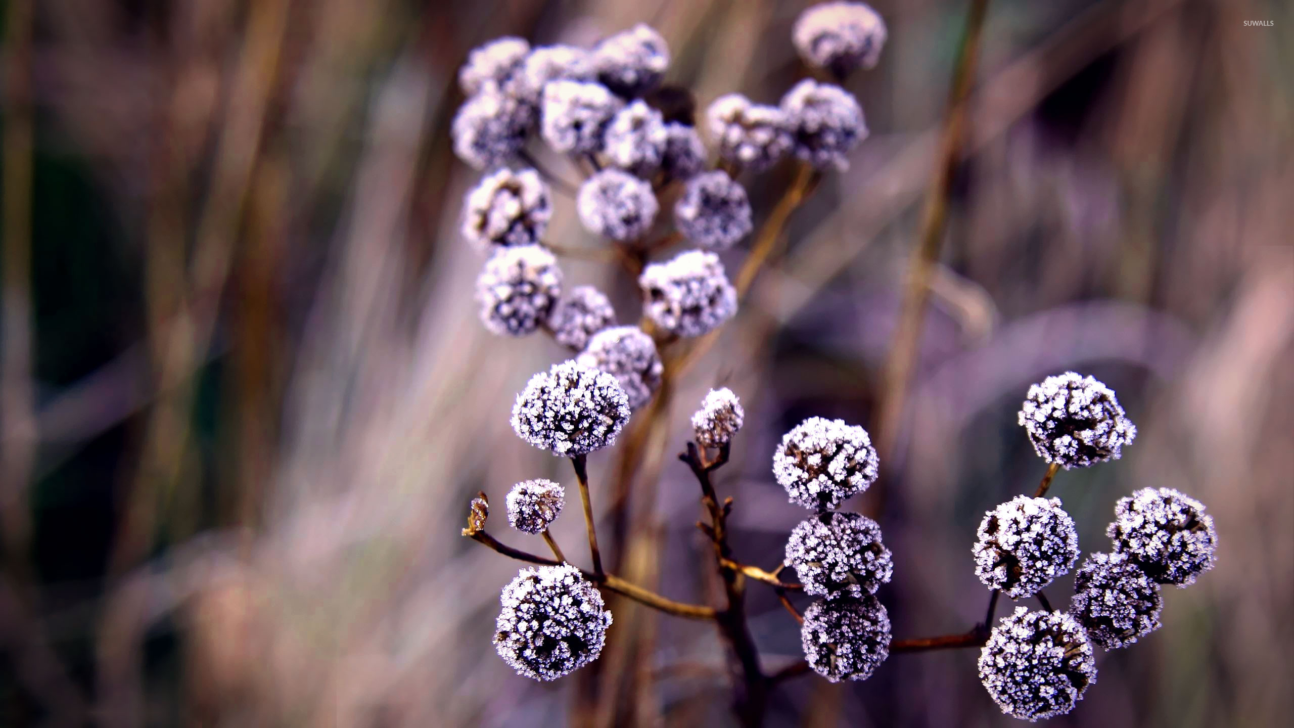 Fall Wallpaper For Computer Desktop Frozen Flower Buds Wallpaper Photography Wallpapers 18637