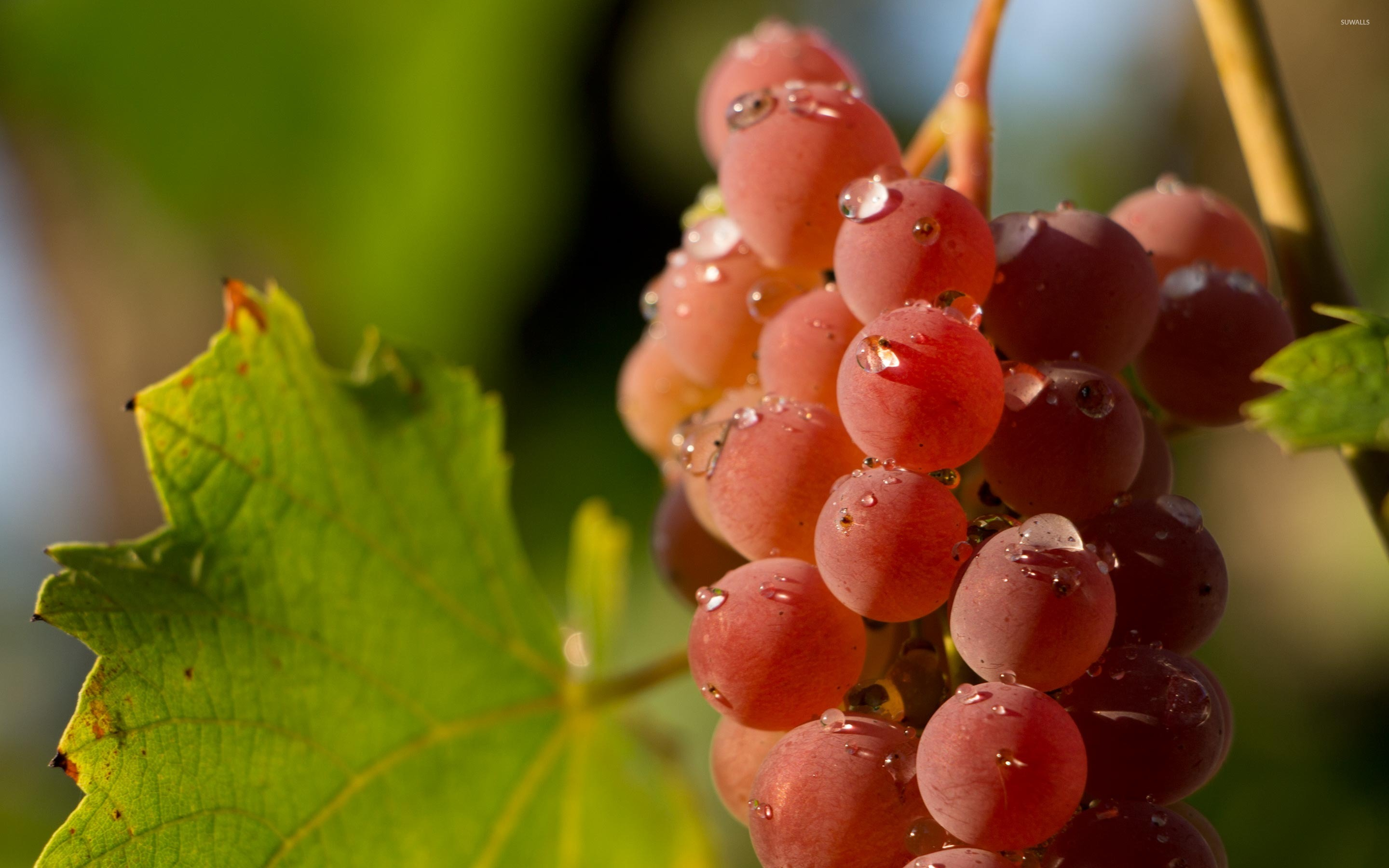 Fruit Quotes Wallpaper Water Drops On A Red Grape Wallpaper Photography