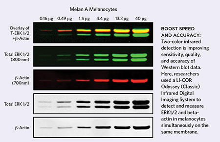 All Is Not Quiet on the Western Front The Scientist Magazine® - western blot