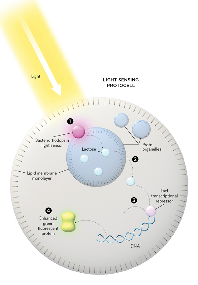 Proto-Organelles for Synthetic Cells The Scientist Magazine®