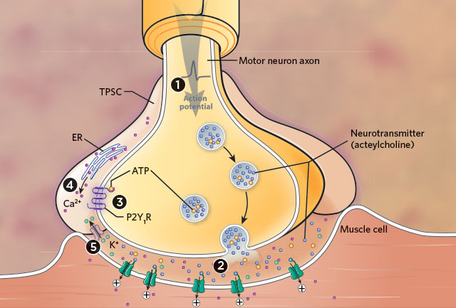 Certain Glial Cells Appear to Help Prevent Muscle Fatigue The