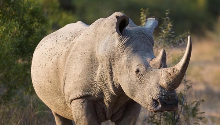 Rhino 3d Wallpaper Can 3d Printing Save The Rhino