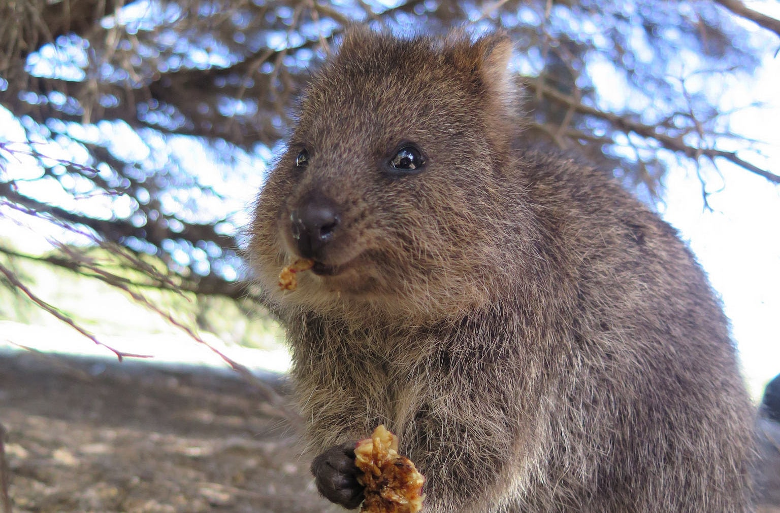 Pet Otter Australia Forget Easter Bunnies In Australia People Enjoy Chocolate Quokkas