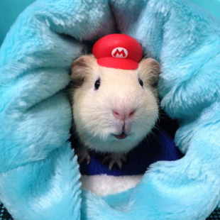 Cute Baby Pig Wallpaper Guinea Pigs Dress As Sailor Moon And Super Mario In