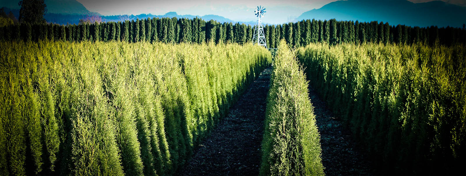 Thuja Yellow Ribbon Height Thuja Green Giant Guide The Tree Center