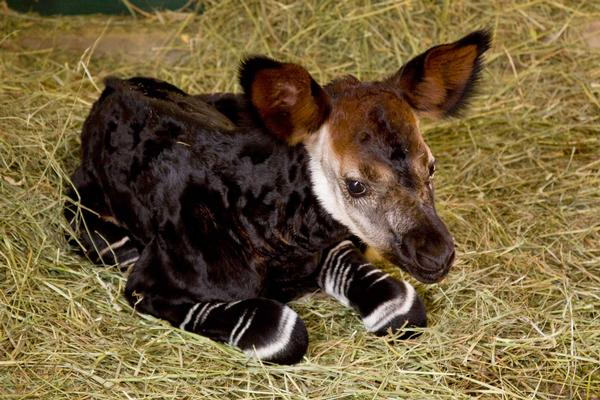 Baby Or Text L 39; Okapi
