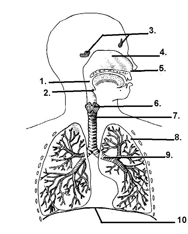 Larynx Diagram Blank