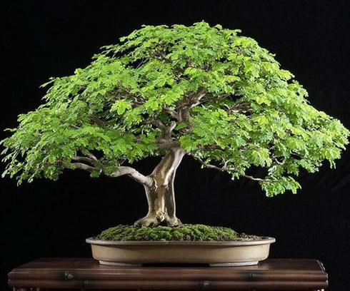 Peace Hd Wallpapers Free Download Brazilian Rain Bonsai Tree