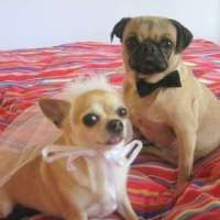 Matrimonial Pooch Ensembles : Bride and Groom Costumes