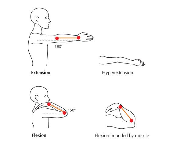 Human Anatomy Fundamentals Flexibility and Joint Limitations