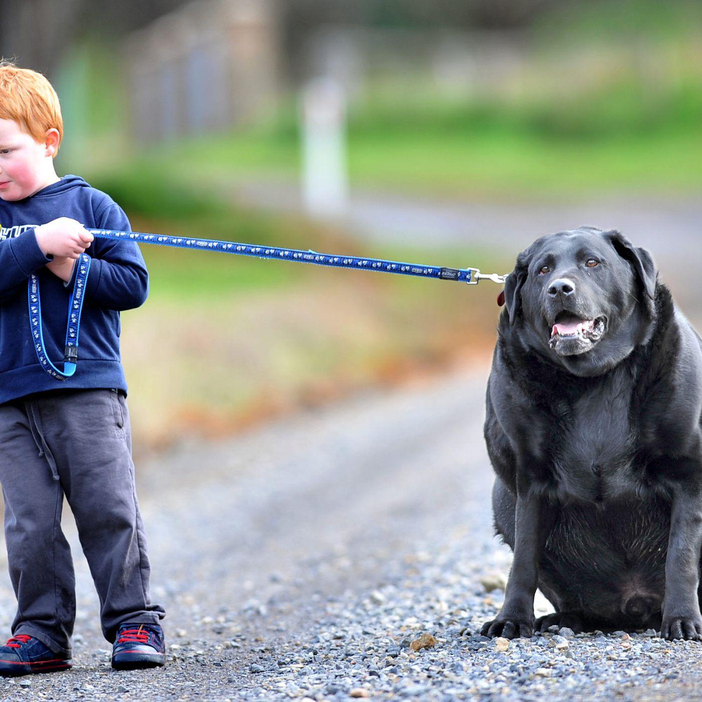 Fullsize Of Fattest Dog In The World