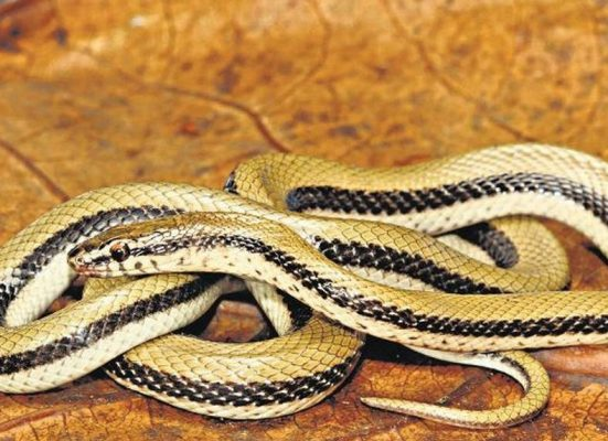 6 New Species of Snakes Discovered in India