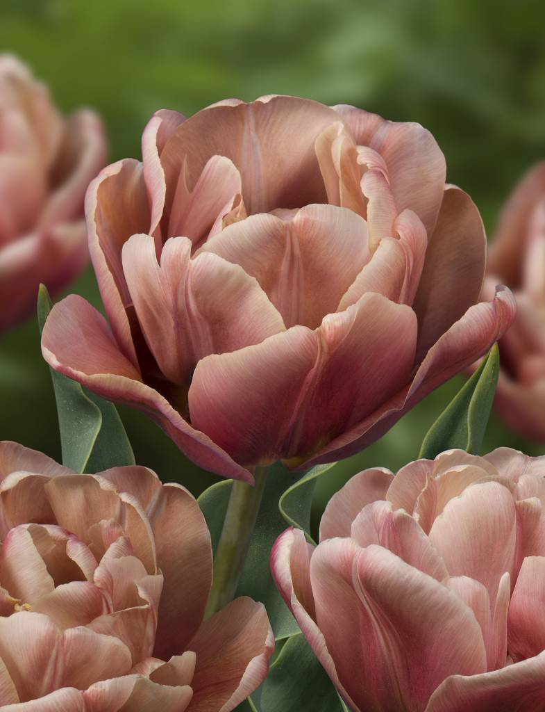 Tulip Bulbs La Belle Epoque Beautiful Peony Tulip Tulip Store