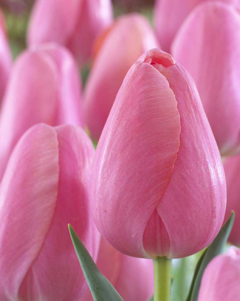 Tulip Bulbs Menton Huge Pastel Coloured Flowers Tulip Store