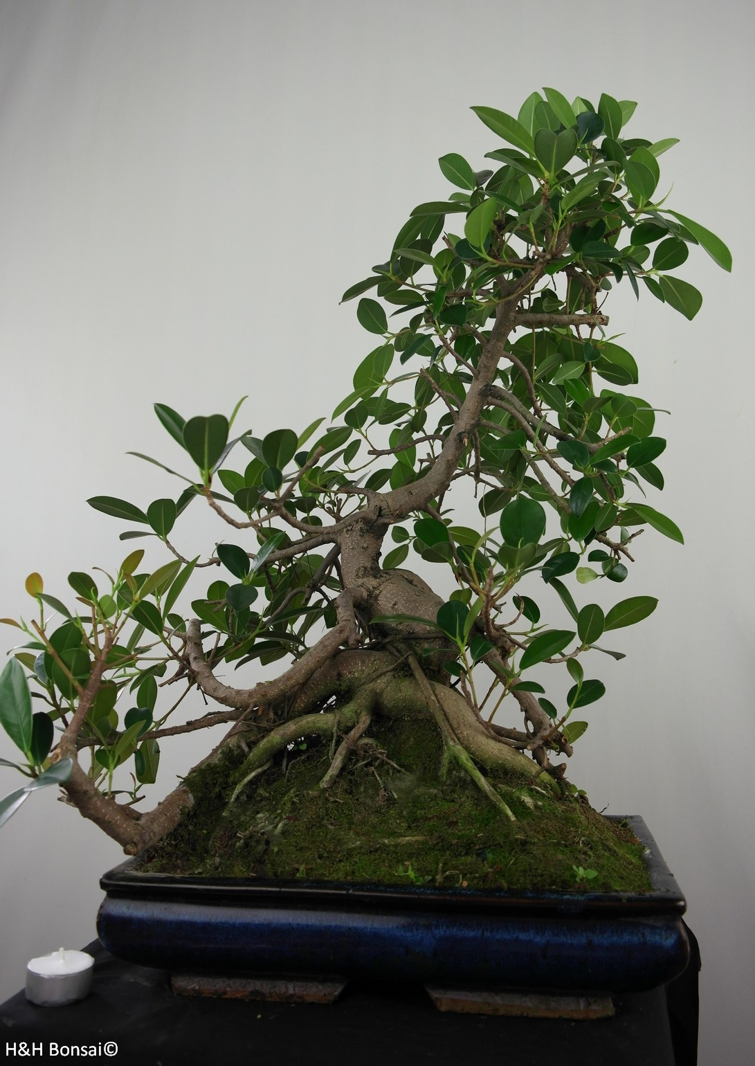 Bonsai Aarde Bonsai Ficus Microcarpa Panda Nr 7683