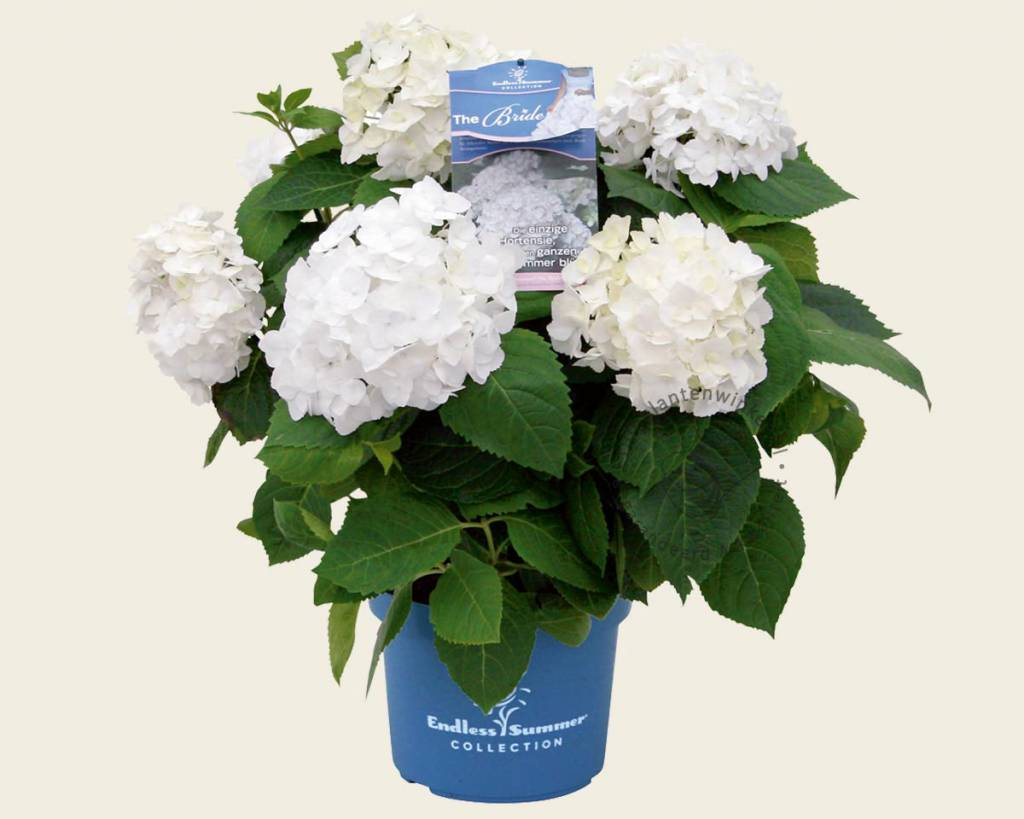 Hortensia Endless Summer Kopen Hydrangea Macrophylla Endless Summer The Bride Doorbloeiende