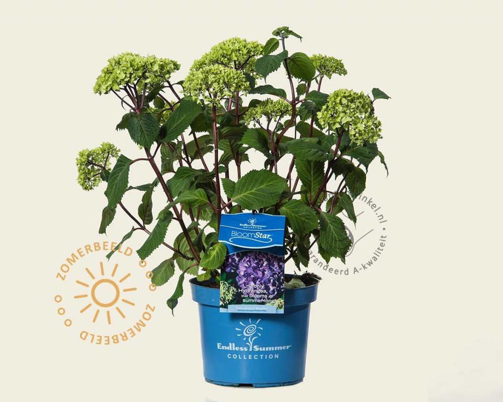 Hortensia Endless Summer Kopen Hydrangea Macrophylla Endless Summer Bloomstar