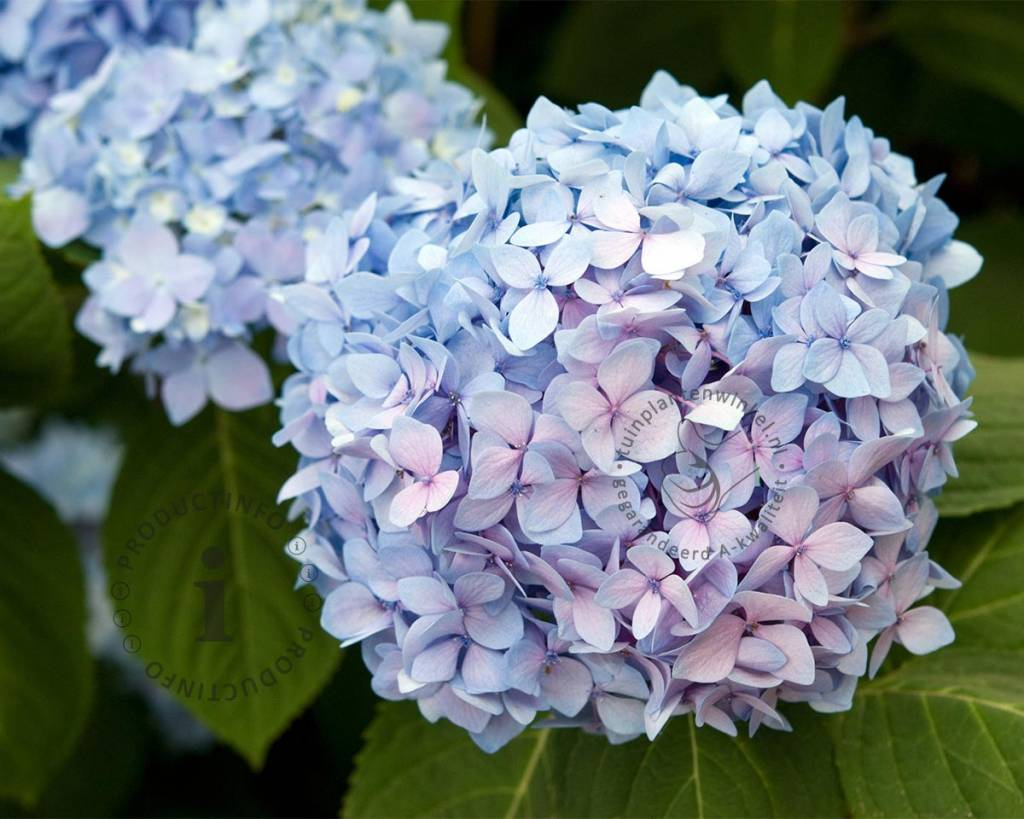 Hortensia Endless Summer Kopen Hydrangea Macrophylla Endless Summer Blue Doorbloeiende
