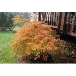 Small Crop Of Sun Valley Maple
