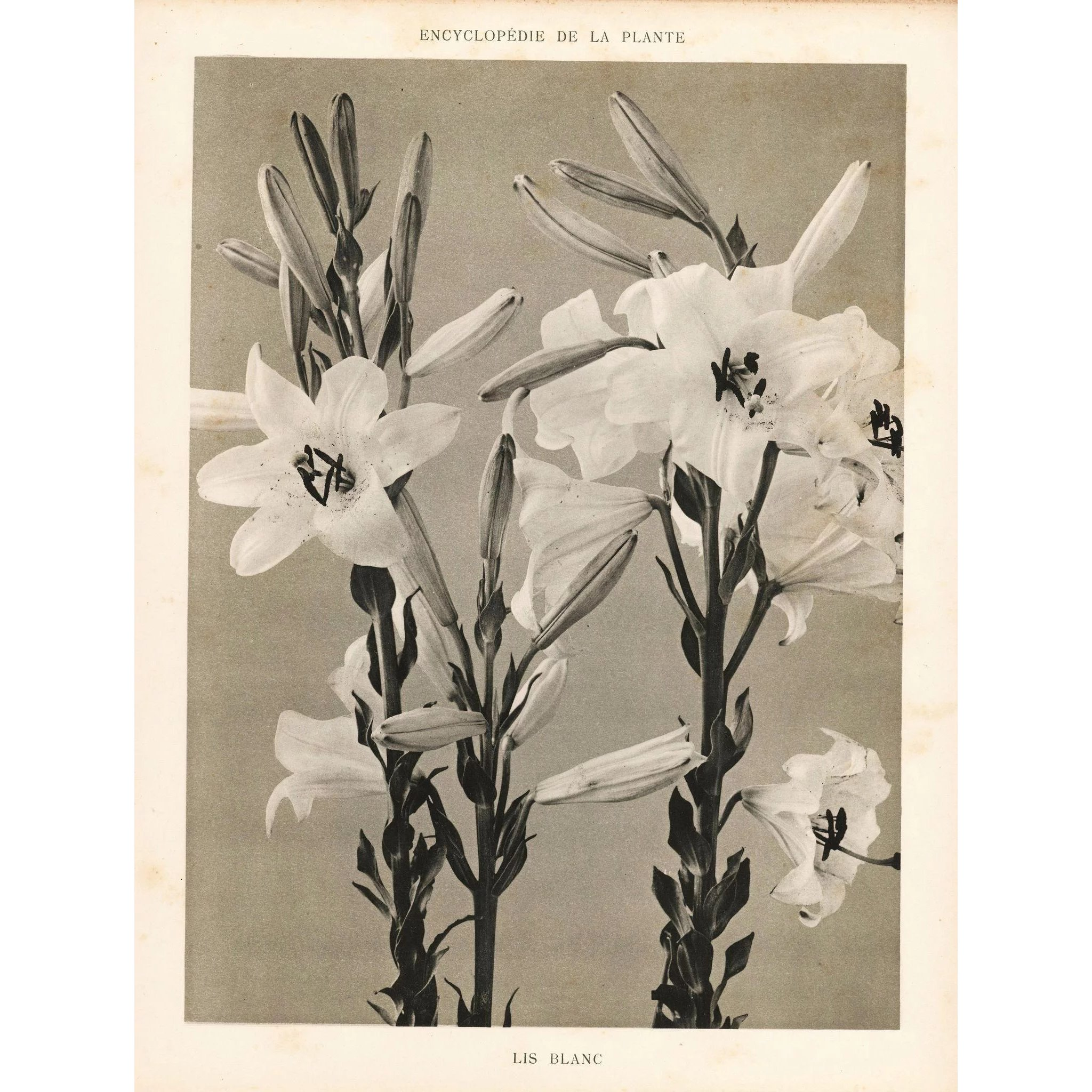Plante Original French Botanical Art Photography Print White Lily