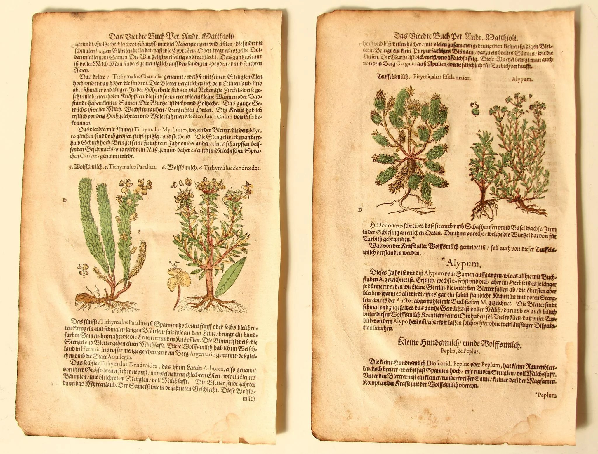 Buche Latein 16th Century Set Of Renaissance Prints Of Gopher Plant Alypum Tithymalus 1590 S Botanical Woodcut
