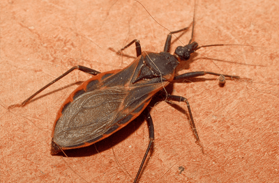'Kissing Bugs' Are Spreading a Deadly Parasite in Texas