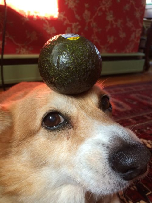 Medium Of Are Avocados Good For Dogs