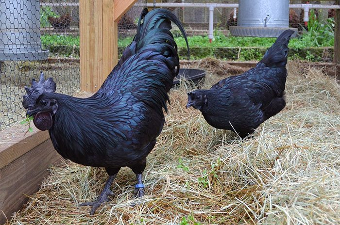 Brama Kip This Rare Indonesian Chicken Is Completely Black Inside