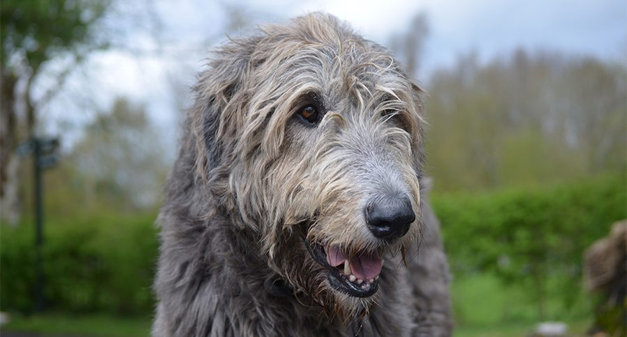 Black And Gray Wallpaper Irish Wolfhounds Everything You Need To Know About The Breed
