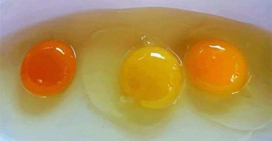 Can You Tell a Healthy Chicken from the Egg Yolk Color?