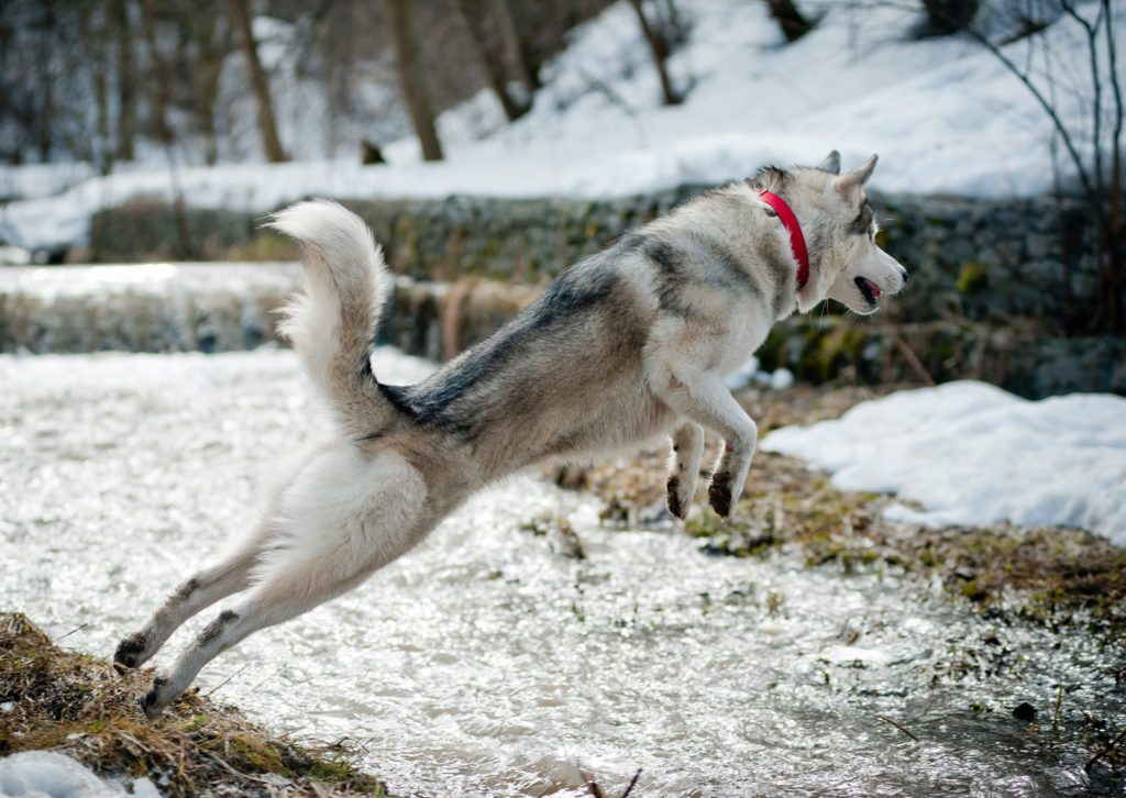 Adobe Stock Jump So You Want To Own A Husky Think About These 5 Husky Facts