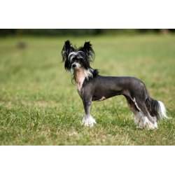 Attractive Chinese Crested Dog Ten Most Hypoallergenic Dogs Allergy Sufferers Low Maintenance Dogs That Can Be Left Alone Low Maintenance Dogs India